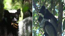 """4تك من مدغشقر: علماء يعملون على حماية الغابات التي تسكنها حيوانات الـ """"ليمور"""""""