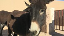 Moroccan refuge where donkeys go to retire