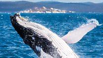 Aprende inglés: por qué las ballenas jorobadas cambian su canto