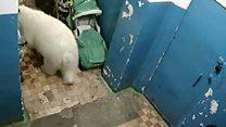 Инвазија белих медведа на Русију.