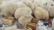 """La """"invasión"""" de osos polares hambrientos en unas islas de Rusia"""