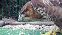 Buzzard caught on school camera