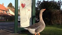 Gordon the goose has a secret admirer