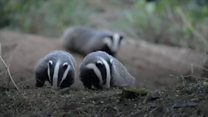 'Hundreds' of badgers killed each year