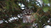 Rare owl visits Shetland