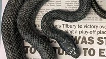 Sssprise: 'Panic' at toilet rat snake