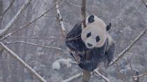 Panda-snow-mium
