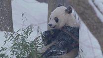 Панды играют в снегу