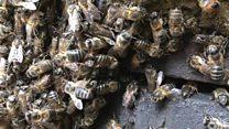 O 'pai' das abelhas: 'Elas me seguem e não sei por quê'