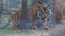 New tigers brought to wildlife park