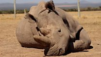 'Last hope' for northern white rhinos