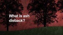 What is ash dieback disease?