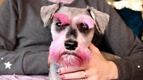 Owner dyes dog pink for Crufts