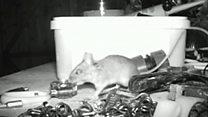 Мышка-уборщица попала на скрытую камеру