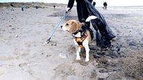 Beagles take part in beach clean