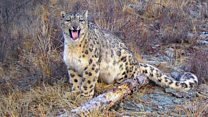 Saving snow leopards in Russia