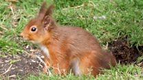 Red squirrels thriving at Wallington