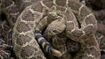 Pria Texas temukan 45 ular derik di kolong rumah