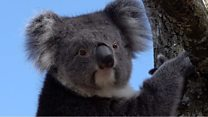 'Back-up' koalas are 'incredibly strong'