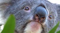 Koala scheme 'working despite death'