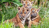 Rare tiger cubs make debut at Sydney Zoo
