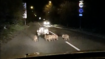 The piglets having a stroll on main road