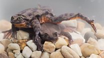 'Last frog left' now living with mate