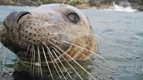 Alarmed seals retreat into water