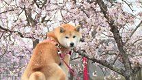 日本のお花見、経済にも大きく貢献