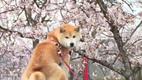 The blossom worth billions for Japan
