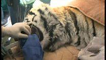 歯痛訴えたトラが歯科医に、米インディアナ州