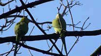 The most northerly parrot flock in the world are living in a Glasgow park