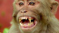زرع جينات الدماغ البشري في القردة ، وهذا ما حدث