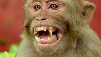 O que acontece quando cientistas implantam genes humanos em cérebros de macacos