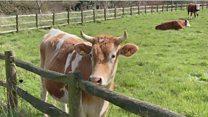 مطلوب أبقار للحصول على فرصة عمل بجزيرة بريطانية!