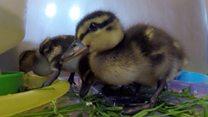 Orphaned 'Easter chicks' in care