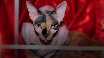 اختيار ملكة جمال القطط في مصر