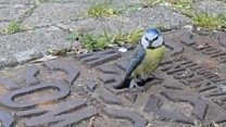 'Amazing' video of blue tit nest in drain