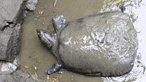 Giống rùa Hoàn Kiếm qua đời ở Trung Quốc