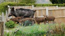 Wild boar piglets filmed at beauty spot