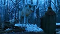 'Wolf lookalike' fear over Game of Thrones
