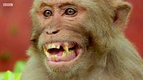 चीनी वैज्ञानिकों ने बंदरों में डाला 'इंसानी दिमाग़'
