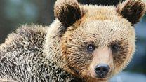 Како живи мрки медвед с Таре