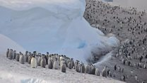 Thousands of emperor penguin chicks drown