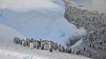 Thousands of emperor penguin chicks drown.