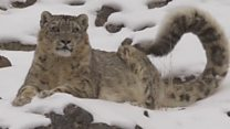 How one woman saved the snow leopards