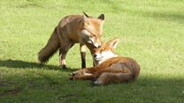 Foxes make home at Cambridge University