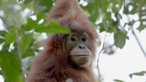 Baby orangutans rescued from pet trade