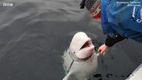 Bu balina Rusiya casusudur?