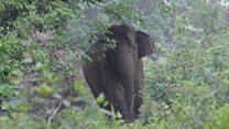 Will Sumatra's elephants go extinct?